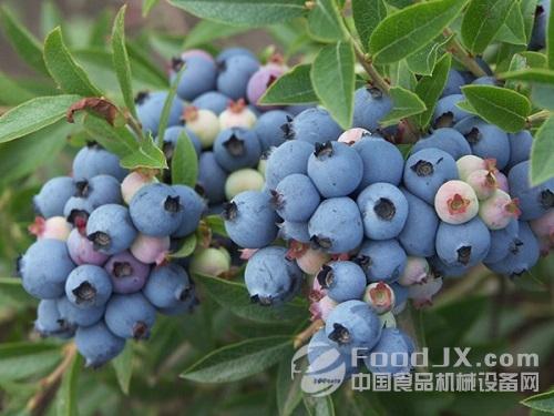 年产值10亿元蓝莓加工生产线花落丹寨